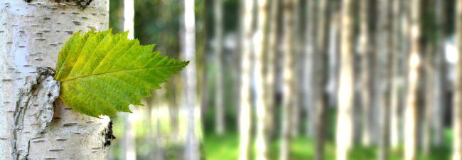 Eigenschaften von Birkenzucker – Warum ist er so gesund?