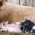 Studie zeigt: So viele Tiere isst der Deutsche in seinem Leben