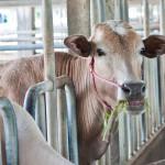 Die Milchkuh als Objekt - Optimierung um jeden Preis