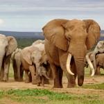 Die rührende Geschichte über den Marsch von 31 Elefanten