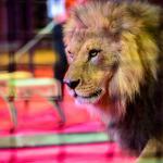 Gesetz in Kraft: Niederlande verbieten wilde Tiere im Zirkus