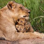 """""""Little Tyke"""": Die Löwin, die sich vegetarisch ernährte"""