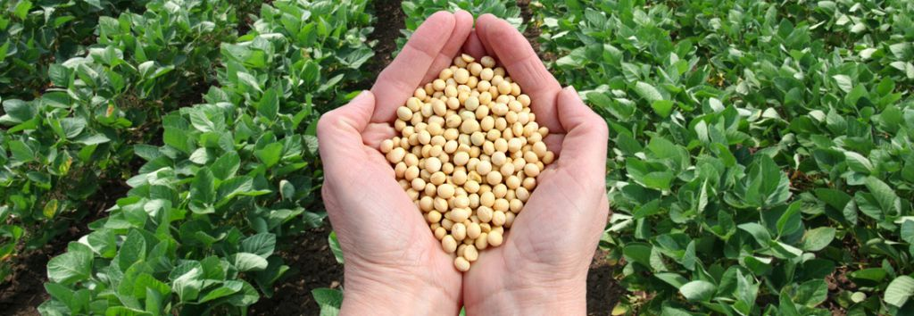 Vorteile der Sojabohne – Wird sie zu Unrecht schlecht behandelt?