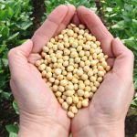 Vorteile der Sojabohne - Wird sie zu Unrecht schlecht behandelt?